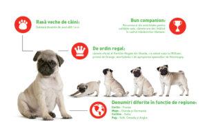 Infografic Pug