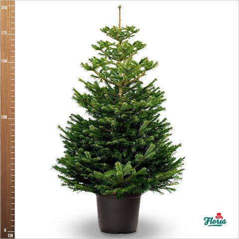 flori-brad-crescut-in-ghiveci-175-200-cm-33166